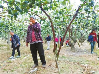 十万斤台湾水果被采摘一空